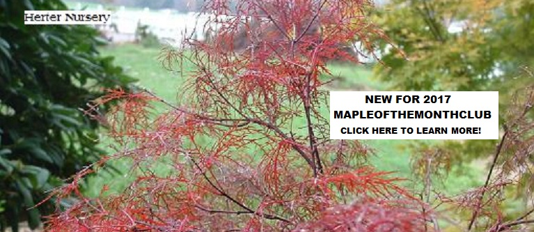 Maple of the Month Club
