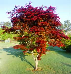 Japanese Maple Seedling Special