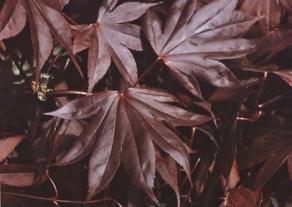 Margaret Bee Purple Japanese Maple Herter Nursery